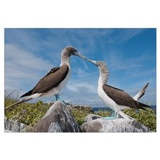 Blue-footed Booby pair in courtship dance, Galapag