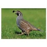 California Quail (Callipepla californica) male, Ch
