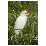 Cattle Egret (Bubulcus ibis) in breeding plumage,