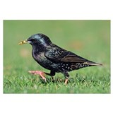 Common Starling (Sturnus vulgaris) walking, Christ
