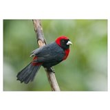 Crimson-collared Tanager (Ramphocelus sanguinolent
