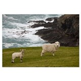 Domestic Sheep and lamb near cliff edge, Canterbur