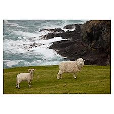 Domestic Sheep and lamb near cliff edge, Canterbur