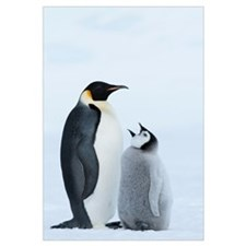 Emperor Penguin with chick begging for food, Prydz