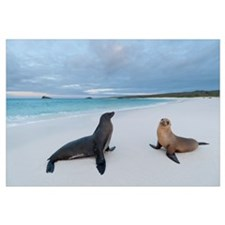 Galapagos Sea Lion (Zalophus wollebaeki) pair on b