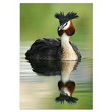 Great Crested Grebe in breeding plumage, Lake Alex