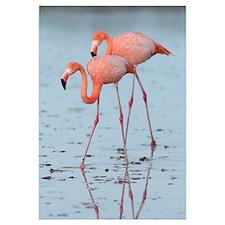 Greater Flamingo (Phoenicopterus ruber) pair wadin