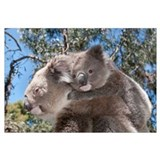 Koala mother carrying young in Gum Tree (Eucalyptu