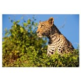 Leopard in tree on lookout, Moremi Game Reserve, O