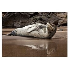 Leopard Seal (Hydrurga leptonyx) on Otanerito Beac