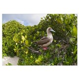 Red-footed Booby perching beside nest in mangroves