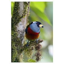 Toucan Barbet (Semnornis ramphastinus), Ecuador