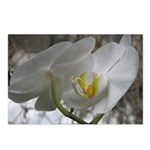White Orchid Postcards (Package of 8)