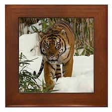 Tiger Walking in Snow Framed Tile
