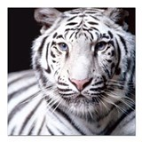 "White Bengal Tiger Square Car Magnet 3"" x 3"""