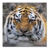 "Siberian Tiger Photograph Square Car Magnet 3"" x 3"