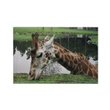 Eating Giraffe Rectangle Magnet (100 pack)