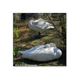"Sleeping Swans Square Sticker 3"" x 3"""