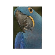 Hyacinth Macaw Rectangle Magnet