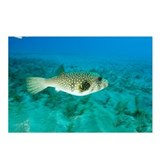 White-spotted pufferfish - Postcards