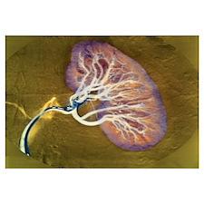 Kidney blood supply