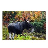 Bull from fight Postcards (Package of 8)