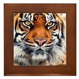 Male Siberian Tiger Framed Tile