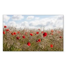 France, Picardy, Somme, Pont Remy, Red poppy flowe