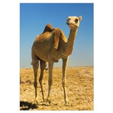 Dromedary (single-humped) camel in the desert