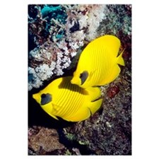 Golden butterflyfish pair