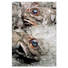 Grenadier fish packed in ice after being caught