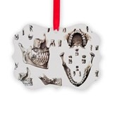 Dental anatomy - Ornament