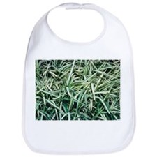 Saint Augustine grass (Stenotaphrum sp.) - Bib