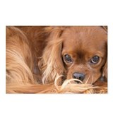 Sweet Friend King Charles Spaniel