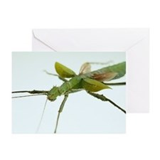 Stick insect - Greeting Cards (Pk of 20)