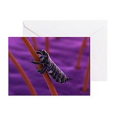 Head louse, artwork - Greeting Cards (Pk of 20)
