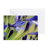 Agapanthus 'Regal Beauty' - Greeting Card