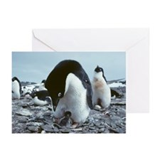 Adelie penguin with chick - Greeting Cards (Pk of