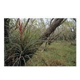 Bromeliad - Postcards (Pk of 8)