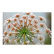 Queen Anne's lace (Daucus carota) - Postcards (Pk