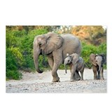 Desert-adapted elephants - Postcards (Pk of 8)