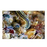 Polychaete marine worm - Postcards (Pk of 8)