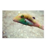 Bennett's pufferfish - Postcards (Pk of 8)