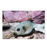 Blackspotted pufferfish - Postcards (Pk of 8)