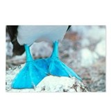 Blue-footed booby feet - Postcards (Pk of 8)