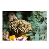 Juvenile map pufferfish - Postcards (Pk of 8)