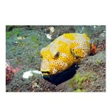Juvenile star puffer - Postcards (Pk of 8)