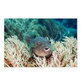 Map pufferfish - Postcards (Pk of 8)