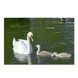 Mute swan and cygnets - Postcards (Pk of 8)