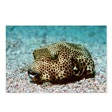 Starry pufferfish - Postcards (Pk of 8)